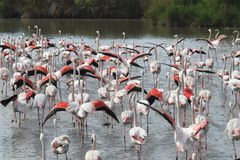 Fluttering flamingos in the french Camargue stock images