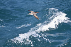 Fluttering Shearwater (Puffinus Gavia) Stock Image