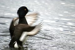 Fluttering tufted duck. The Tufted Duck, Aythya fuligula, is a medium-sized diving duck with a population close to one million birds. With their black-white Royalty Free Stock Photos