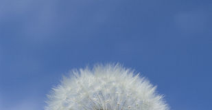 Flutty blow ball. Part of fluffy blow ball on the sky background royalty free stock images