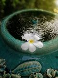 Flutuação branca da flor do Plumeria imagens de stock royalty free