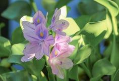 Flutuação do jacinto de água bonita na natureza Java Weed imagem de stock royalty free