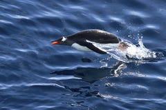 Flutuação do pinguim de Gentoo quem saltou Fotografia de Stock Royalty Free