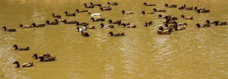 Flutuação dos patos Fotografia de Stock