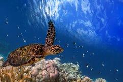 Flutuação maldiva da tartaruga de mar Fotos de Stock Royalty Free