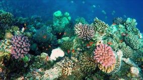 Flutuação sobre um recife de corais vívido com muitos peixes vídeos de arquivo