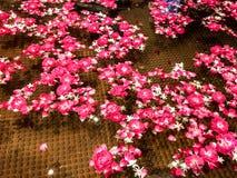 Flutuador cor-de-rosa bonito das pétalas na associação foto de stock royalty free