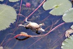 Flutuador da rã-gigante que flutua na associação com a lagoa com lótus fotos de stock royalty free