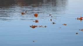 Flutuador das folhas de outono na água Lago ou rio com água quieta na estação do outono filme