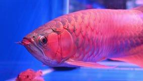 flutuador de Arowana dos peixes 4K e para nadar mostrando a escala bonita e brilhando ele no aquário video estoque