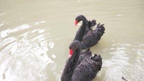 Flutuador de duas cisnes pretas no lago Pares do amor de cisnes pretas Conceito bonito dos animais selvagens close-up, 4k, lento- filme