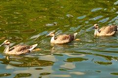 Flutuador de três patos em uma lagoa foto de stock royalty free