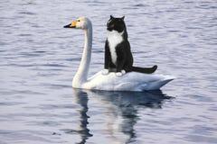 Flutuadores assustados do gato preto em uma cisne branca foto de stock