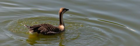 Flutuadores brancos do ganso da cisne do pássaro raro e marrons bonitos da cor na lagoa fotos de stock royalty free