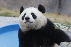Sweet Panda Cub in Shanghai, China. Fluufy and Cute Panda Cub is Looking at the Audiences stock photography