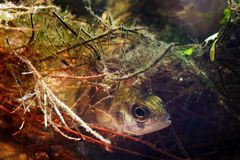 Fluviatilis del Perca, perca europea, pescado despredador de agua dulce que oculta entre raíces del sauce en acuario del biotopo, imagenes de archivo