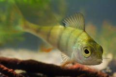 Fluviatilis do Perca, vara europeia, opinião predadora de água doce do close up dos peixes no aquário europeu de água doce do bió imagens de stock