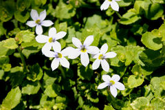 Fluviatilis Isotoma, μπλε αναρριχητικό φυτό αστεριών Στοκ Εικόνες