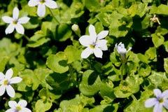 Fluviatilis Isotoma, μπλε αναρριχητικό φυτό αστεριών Στοκ φωτογραφία με δικαίωμα ελεύθερης χρήσης