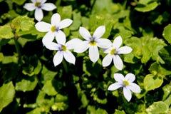 Fluviatilis Isotoma, μπλε αναρριχητικό φυτό αστεριών Στοκ Φωτογραφίες