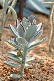 Fluweelachtige Kalanchoe succulente Tomentosa Stock Foto's