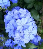 Fluweelbloem Royalty-vrije Stock Afbeeldingen