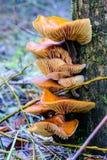 Fluweelvoet op een boom Royalty-vrije Stock Afbeelding