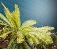 Flux de Cycad Photographie stock