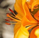 Fluxo aerodinâmico de Lillies Fotografia de Stock