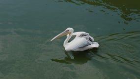 Fluxo do pelicano Imagens de Stock