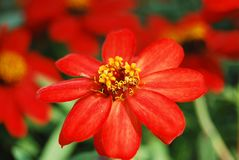 Flwoer rosso Fotografia Stock