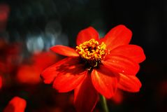 Flwoer rosso Immagini Stock