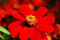 Flwoer rouge Photo stock