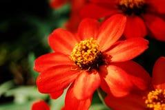 Flwoer rouge Image libre de droits