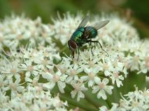 Fly. On flowers Royalty Free Stock Photos
