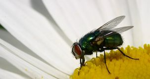 The fly. Fly on daisy Royalty Free Stock Photo