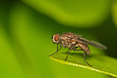 Fly. A blow-fly on a leaf Stock Images