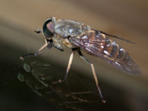 Fly. Sitting on glass, macro Royalty Free Stock Photos