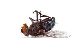 Fly. Dead big annoying fly on a white background Stock Image
