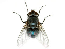 Fly. A macro shot of  fly on a white background Royalty Free Stock Photo