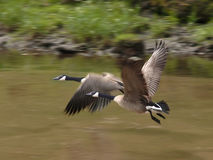 Fly By. Canadian Geese taking flight Stock Image
