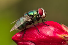 Fly. With red eyes on red flower Stock Photo