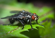 Fly. Close up of a fly standing on green leaf Royalty Free Stock Image