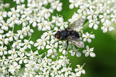 Fly. Black fly getting nectar from small white flowers royalty free stock images