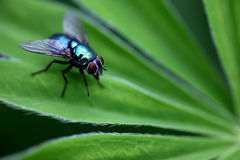 Fly. Close up of a fly on a leaf Stock Photography