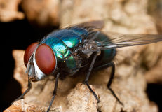 Fly. Macro shot of a blow fly on a dead plant stem Stock Photo