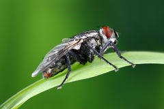 Fly Royalty Free Stock Photo