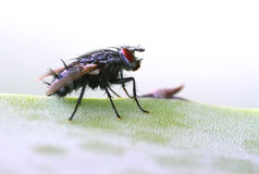 The fly Stock Image