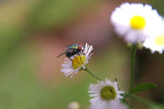 Fly. On flower Royalty Free Stock Photo