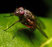 Fly. Close up macro shot of fly on leaf Stock Photography